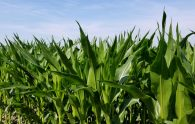 """Corn Looks """"Amazingly Well"""" For Bad Planting Conditions"""
