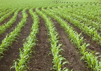 New-corn