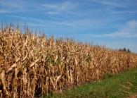 October Corn In July
