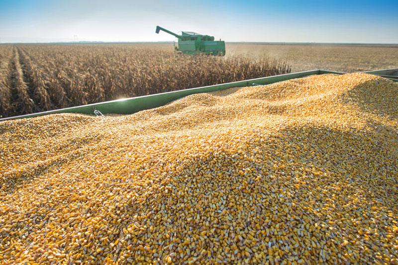 harvesting corn in the fall