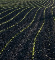Corn All Planted and Growing