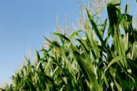 Corn Tassels, But Not All At Once